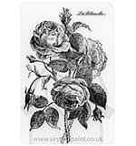 SO: La Blanche - Flowers - English Rose